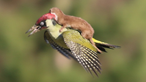Woodpecker and Weasel
